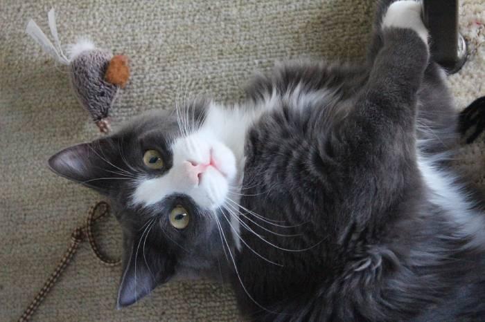 chat qui joue avec une cordelette